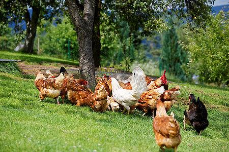 Pension in Bayern - freilaufende Hühner
